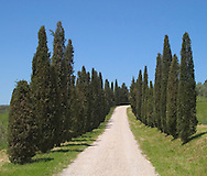 Rows of cypress trees along a dirt road in<br /> Tuscany, Italy
