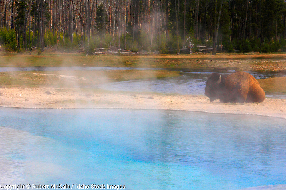 WYOMING. Yellowstone National Park. Bison (Bison bison) resting near Green Spring in Black Sand Basin.  May 2006 #ls060209
