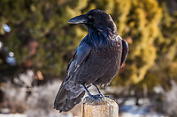 A Raven on a fence post, Island in the Sky district of Canyonlands National Park, Utah, USA.