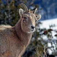 Female Ram<br /> Wyoming mountains
