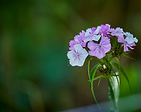 Sweet William. Image taken with a Nikon D850 camera and 200-500 mm f/5.6 VR lens.