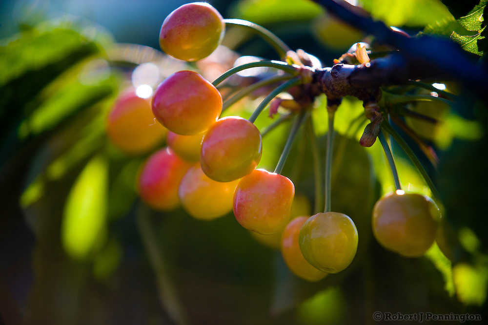 Cherries ripening on the the tree in an orchard. Cherry trees and cherries ripening in orchard trees in Eastern Washington