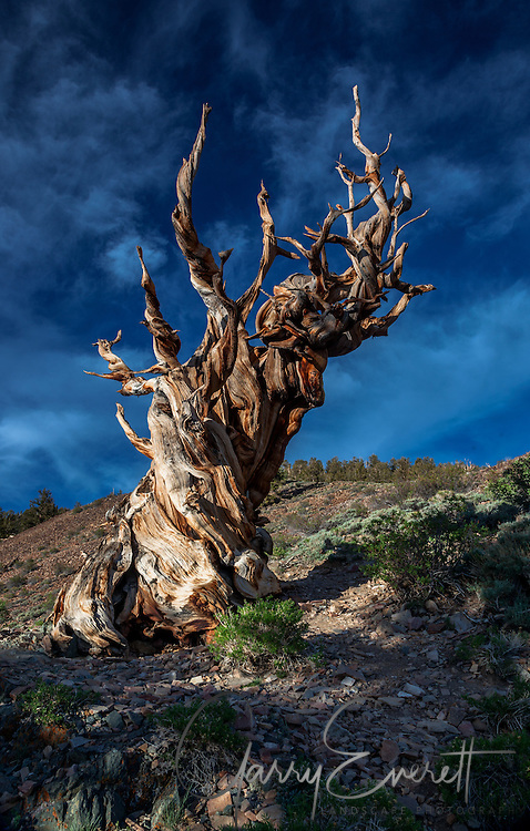 Ancient Bristlecone Pine Tree in White Mountains, softening late afternoon light with nice background clouds.