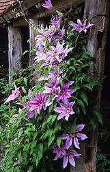 Clematis 'Marcel Moser' growing in the exotic garden at Great Dixter