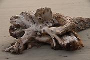 Driftwood, Kalaloch, Olympic Peninsula, Washington, US