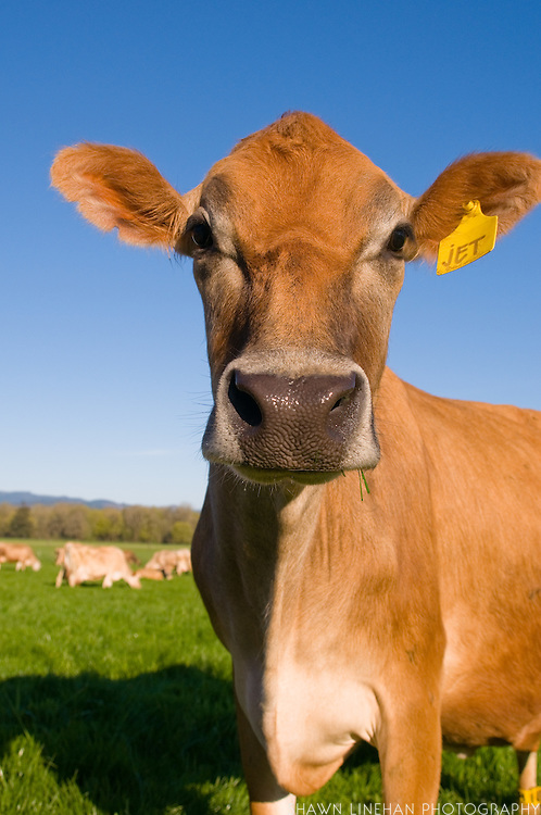 But the cows mostly eat green pasture.