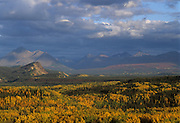 Aspen tree, Spruce tree, Fall, Autumn, Denali National Park, Alaska