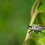 Assassin Bug - Rhynocoris sp.