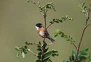 Male Stonechats are very territorial scolding everything from other birds to hill walkers with their distinctive 'Wee-tac-tac' alarm call.