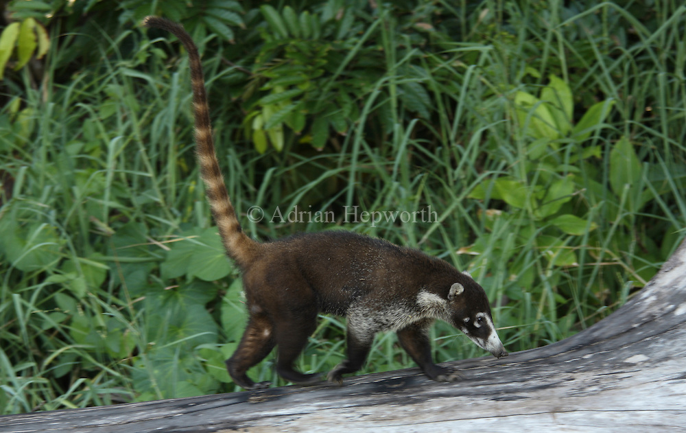 White-nosed Coati (Nasua narica) running next to Sirena River. Corcovado National Park, Osa Peninsula, Costa Rica. <br />