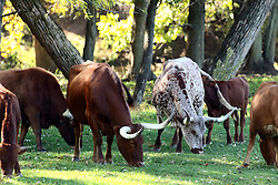Longhorn cattle feed in a pasture (Photo by Alan Look)