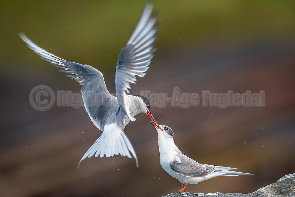 Tern feeding her baby with a small fish | Terne mater ungen sin med en liten fisk.