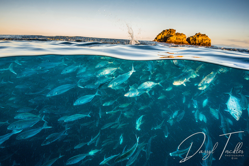 Over under shot of trevally and kahawai feeding on the surface at Simpson Rock. Mokohinau islands, Hauraki Gulf. New Zealand