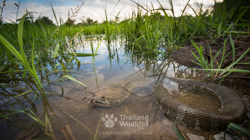 Jack's Water Snake (Homalopsis mereljcoxi) in a rice field in Sung Noen, Nakhon Ratchasima, Thailand