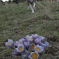 Pasque flower and hiker. Springhill, Bozeman, Montana.