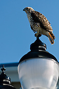 A young Red-Tail hawk sits on top of a lamp outside the new Barnes & Noble building at Rowan University in Glassboro, NJ.