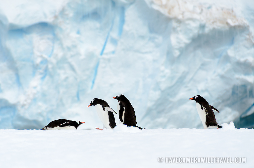 Four Gentoo penguins on a narrow ice shelf on the shoreline of Cuverville Island on the Antarctic Peninsula.