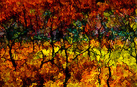 Mesa Verde autumn oak in a digital painting. leaves brilliant red orange and yellow against branches burned black by an earlier fire.  These oaks are rebounding from a fire that burned large areas in Mesa Verde National Monument, in southwestern Colorado.