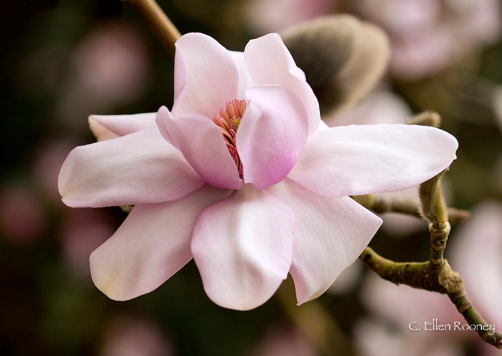 Magnolia 'Mark Jury' in The Valley Gardens, Windsor, Surrey, UK
