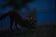 Fox cub photographed at night having a good long stretch