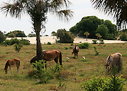 A stallion stands guard while a mare, a foal and a colt graze near the beach of Cumberland Island.