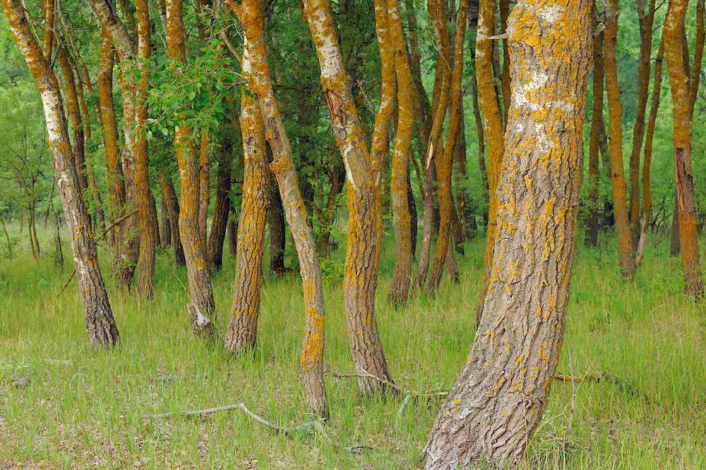 Poplar trees, Populus alba/nigra, Letea forest, Strictly protected nature reserve, Danube delta rewilding area, Romania