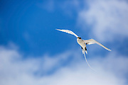 White-tailed tropicbird (Phaethon lepturus) in flight. Photographed on Bird Island, Seychelles.