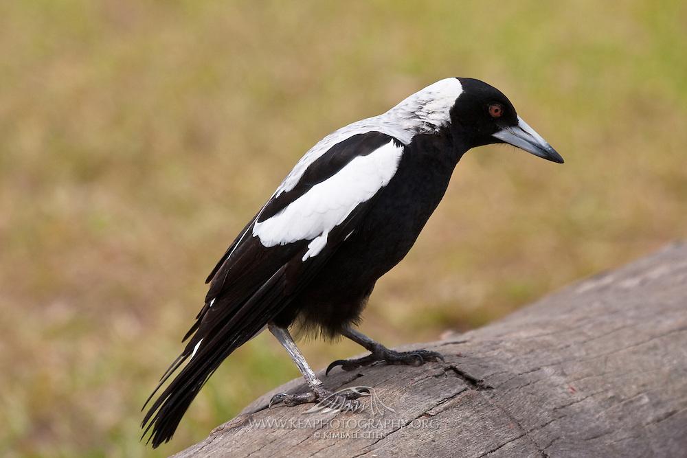 Australian magpie, New Zealand
