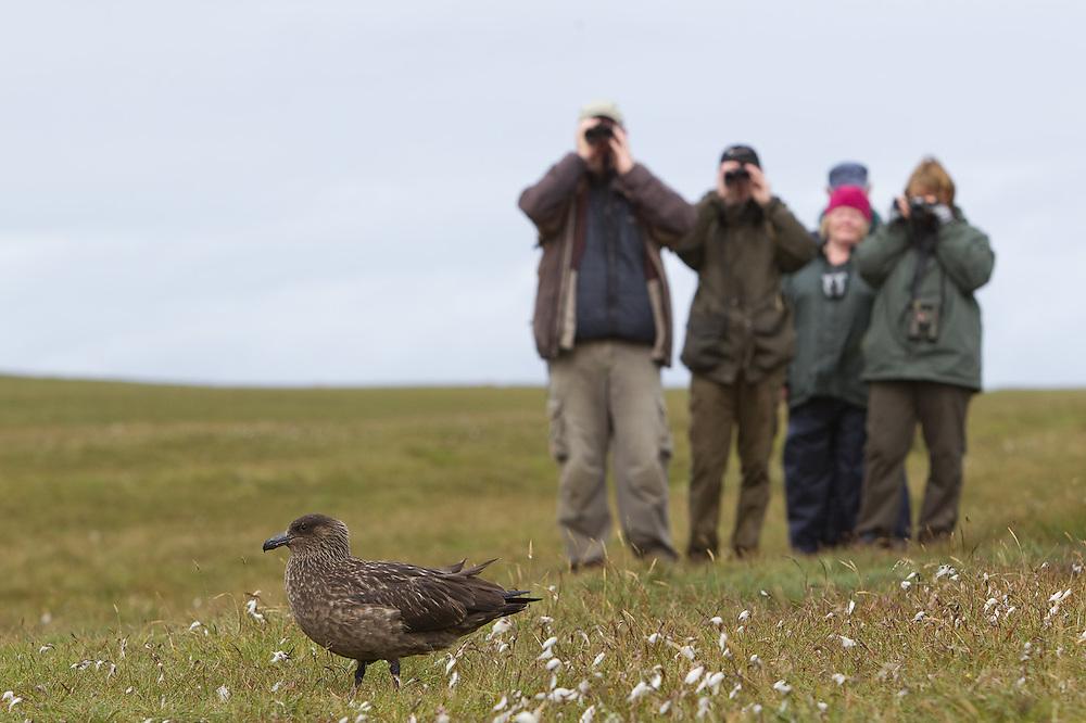 Birdwatchers looking at Great skua (Stercorarius skua), Shetland Isles, Scotland.