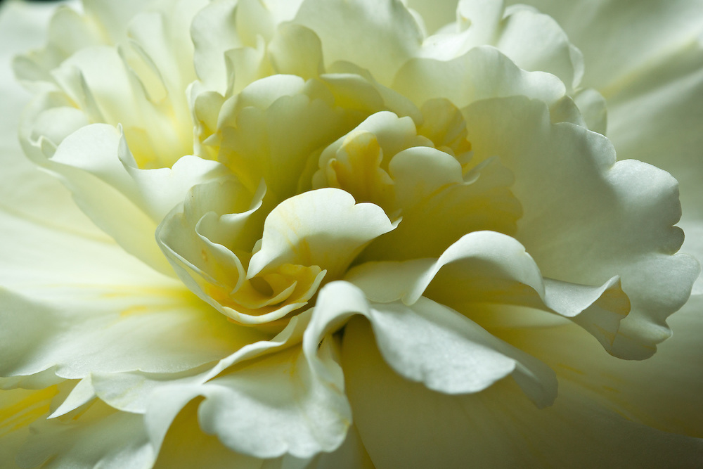 This white begonia blooms from summer to early fall outside my living room window.