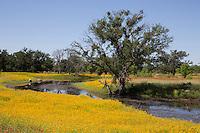 Bitterweed, (Helenium amarum), Llano County, Texas