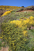 Yellow blossom of common gorse growing on hillside, Island of Sark, Channel Islands, Great Britain