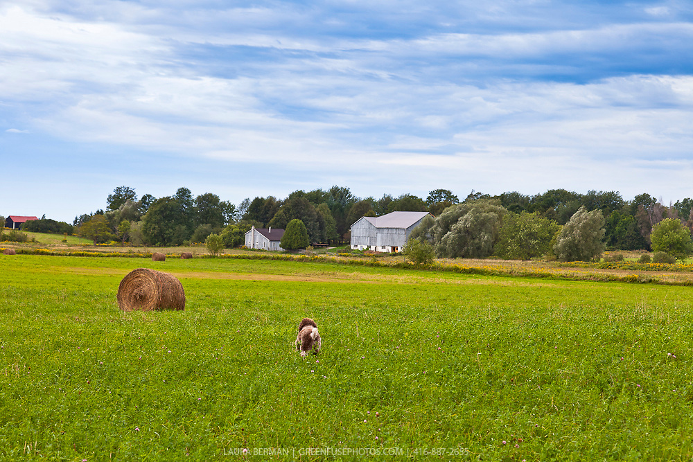 Dogs exploring in an autumn hayfield under a blue sky.