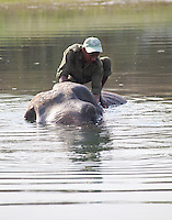 Nepali ranger washing an elephant in a river, Bardiya National Park, Nepal