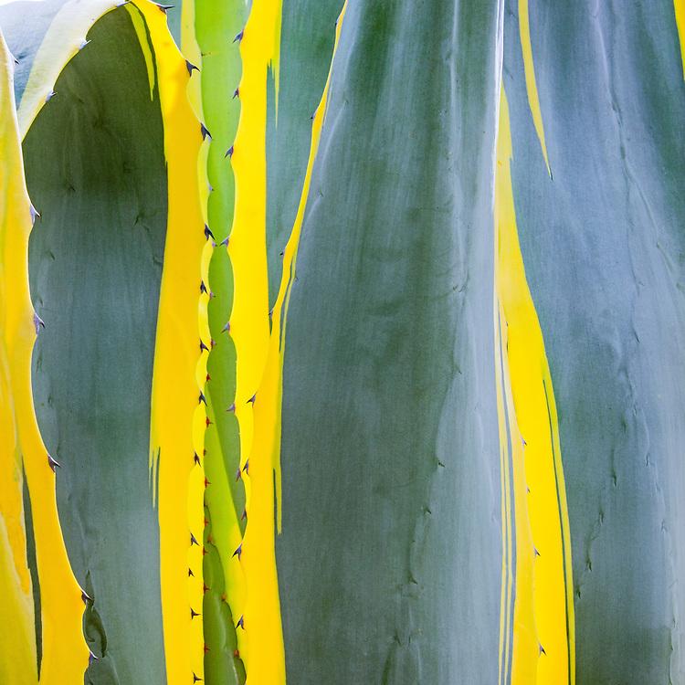 Agave Cactus, Mission Santa Barbara, also known as Santa Barbara Mission, is a Spanish mission founded by the Franciscan order Santa Barbara, California.