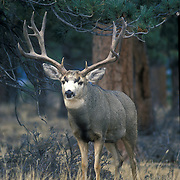 Huge collection of monster mule deer.