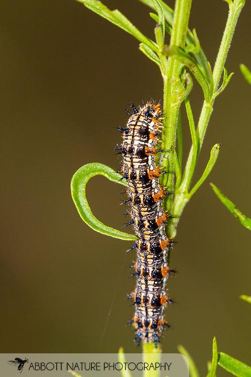 Common Buckeye (Junonia coenia) caterpillar<br /> United States: Alabama: Tuscaloosa Co.<br /> Tulip Tree Springs off Echola Rd.; Elrod<br /> 5-Sep-2016<br /> J.C. Abbott #2864