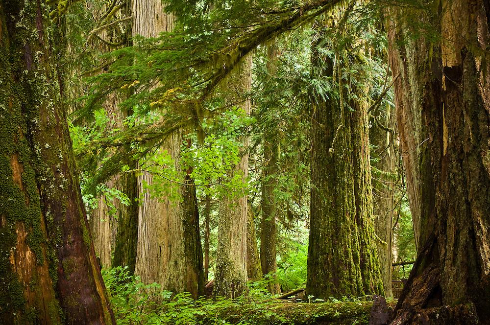 Grove of the Patriarchs Trail, Mount Rainier National Park, Washington.