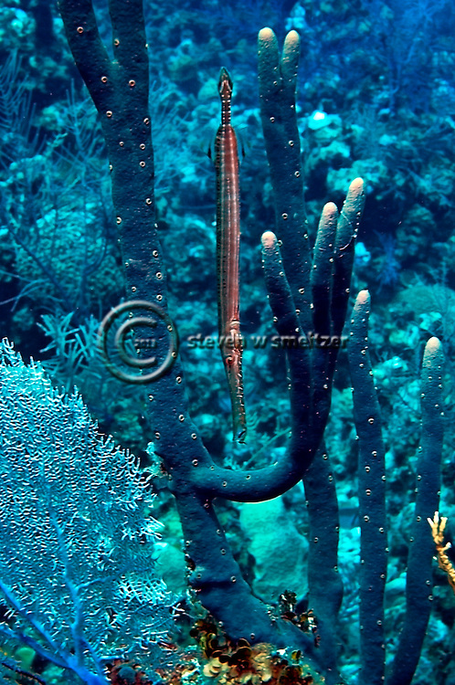 Camouflage, Trumpetfish, Aulostomus maculatus, Valenciennes, 1837, Grand Cayman