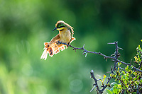 Little Bee-eater, Marataba Private Game Reserve, Limpopo, South Africa