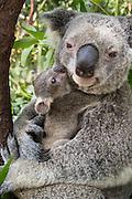 Koala <br /> Phascolarctos cinereus<br /> Mother and seven-month-old joey<br /> Queensland, Australia<br /> *Captive