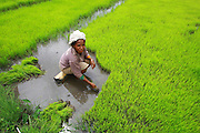 Aileu farming, during rice harvest.@ Martine Perret . 4 February 2009