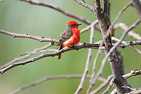 Vermilion Flycatcher (Pyrocephalus rubinus) perched in a tree, Ajijic, Jalisco, Mexico. Photo: Peter Llewellyn