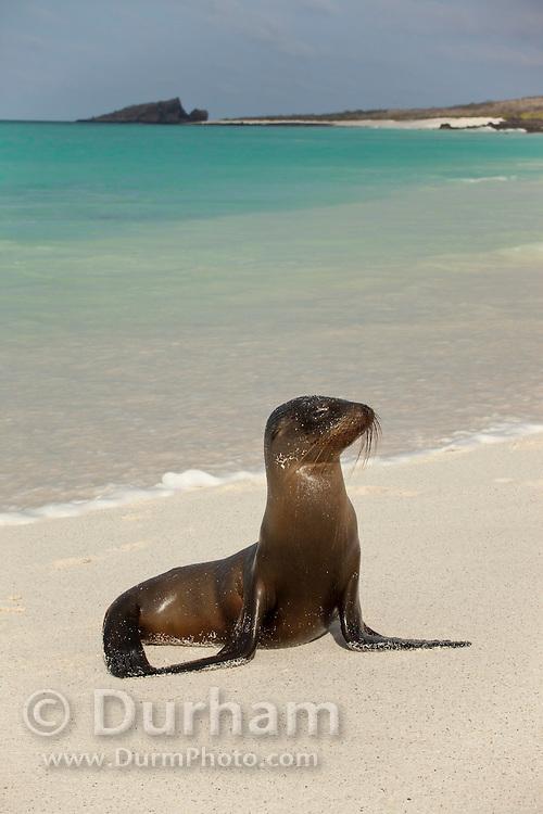 A young Galapagos sea lion (Zalophus californianus) on the beach of Espanola Island, Galapagos Archipelago - Ecuador.