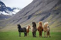Icelandic horses in Dýrafjörður, West fiords of Iceland.