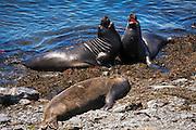 Northern Elephant Seals (Mirounga angustirostris) at Piedras Blancas, San Simeon, California USA
