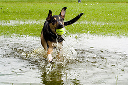 Young playful Black and Tan juvenile mongrel dog splashes through a large deep puddle while chasing a tennis ball in the park<br />