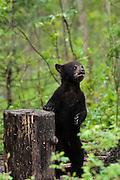 USA, Vince Shute Wildlife Sanctuary (MN).Black bear (Ursus americanus) with cub