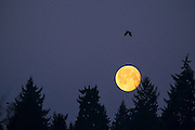 An American crow flies as the full moon sets behind a forested ridge in Bothell, Washington.