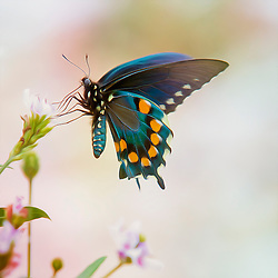 This beautiful black bodied swallowtail is black with shiny blue or green wings. It has blue between two rows of orange spots on the underside of the hind wings and the colors on the upper side of the hind wings have one row of white spots. The caterpillars look like small snakes, having large eyespots; they hide in folded leaves during the day and come out to feed in the evenings. The chrysalis is either brown or green resembling the stem in which it is attached. These butterflies are a pleasure to watch and a welcome visitor to any garden.